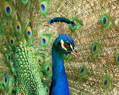 Print featuring the photograph Peacock 1 by Bob and Jan Shriner