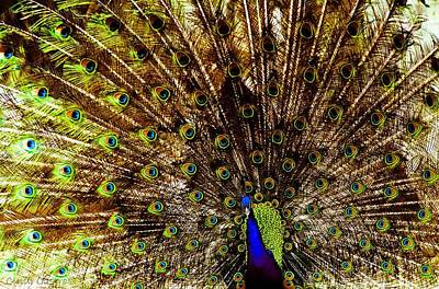 Photograph - Peacock #2 by Cindi Castro