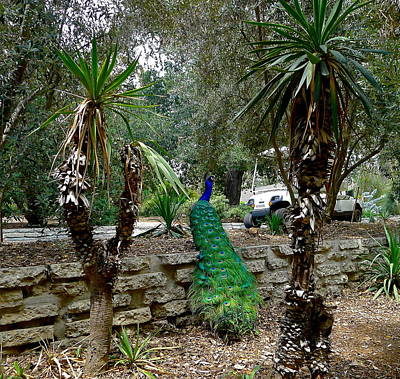 Photograph - Peacock Among The Palms by Denise Mazzocco