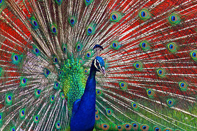 Photograph - Peacock And Red Barn by Jerry Gammon