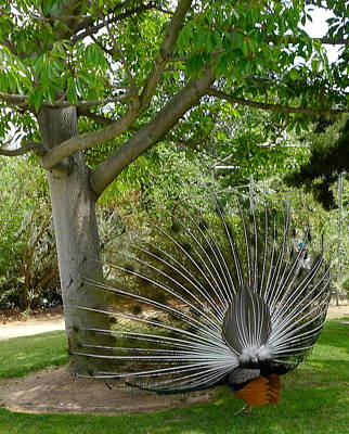 Photograph - Peacock Backside by Denise Mazzocco