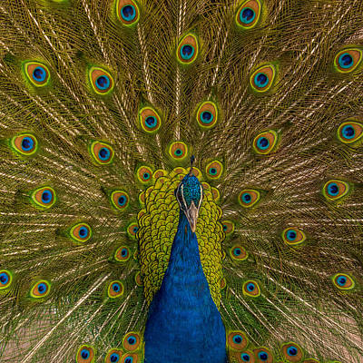 Photograph - Peacock Bloom by Ernie Echols