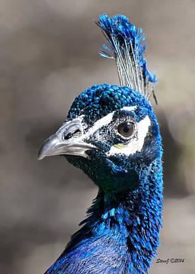 Peacock Blue Art Print by Stephen  Johnson