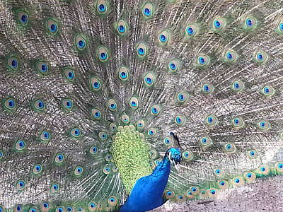 Print featuring the photograph Peacock Bow by Caryl J Bohn