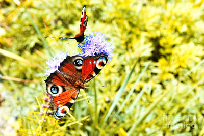 Photograph - Peacock Butterflies by Martin Capek