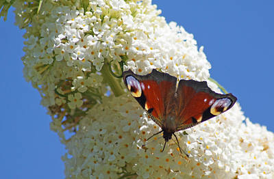 Photograph - Peacock Butterfly by David Birchall
