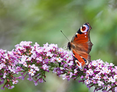 Photograph - Peacock Butterfly  Inachis Io  On Buddleia by Liz Leyden