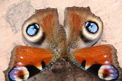 Refuses To See Photograph - Peacock Butterfly by Liz Bills