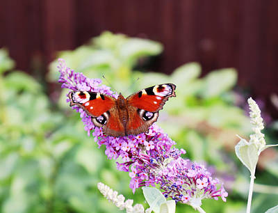 Photograph - peacock butterfly on Buddleia plant by Tom Conway
