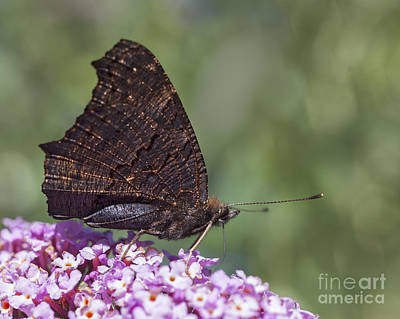 Photograph - Peacock Butterfly On Buddleija by Liz Leyden