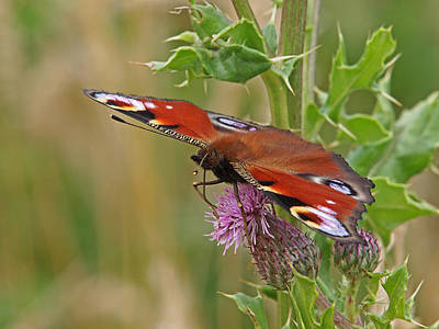 Photograph - Peacock Butterfly On Thistle by Gill Billington