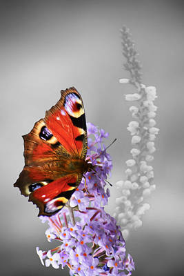 Photograph - Peacock Butterfly by Veli Bariskan