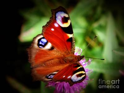 Photograph - Peacock Butterfly by Yvonne Johnstone