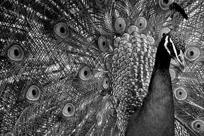 Photograph - Peacock Bw by Ron White