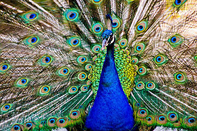 Photograph - Peacock by Cindi Castro