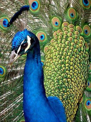 Photograph - Peacock Close by Jeff Lowe