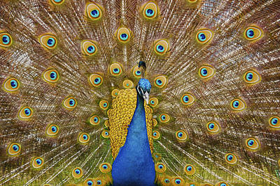 Photograph - Peacock Courting by Charles Beeler