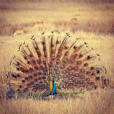 Wildlife Photograph - Peacock Courtship by Hitendra SINKAR