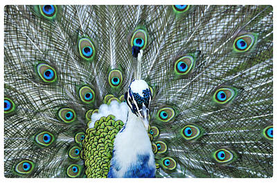 Photograph - Peacock Dandy 2 by Davina Washington