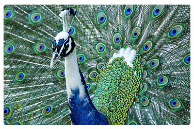 Photograph - Peacock Dandy by Davina Washington