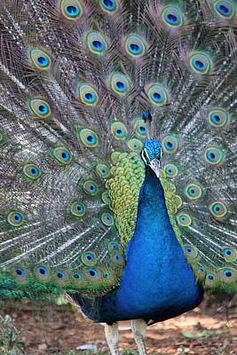 Photograph - Peacock by Elizabeth Budd