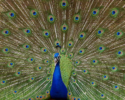 Photograph - Peacock by Ernie Echols