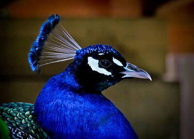 Photograph - Peacock by Eva Kondzialkiewicz