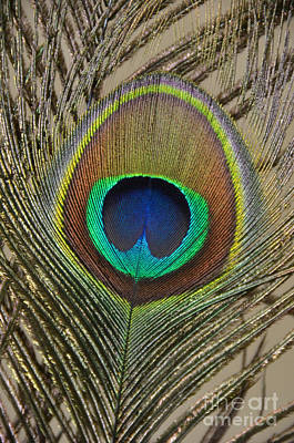 Peacock Feather Art Print by Debra Thompson
