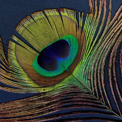 Digital Art - Peacock Feather On Square by Ann Powell