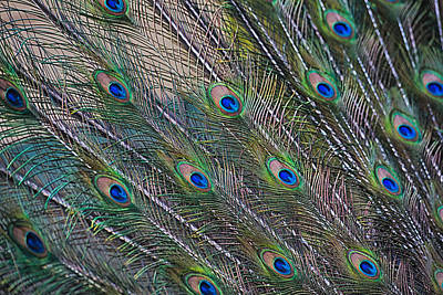 Peacock Feathers Abstract Art Print by Eti Reid