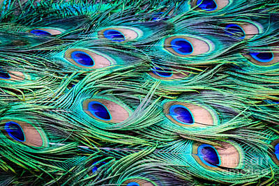 Photograph - Peacock Feathers Abstract by Peta Thames