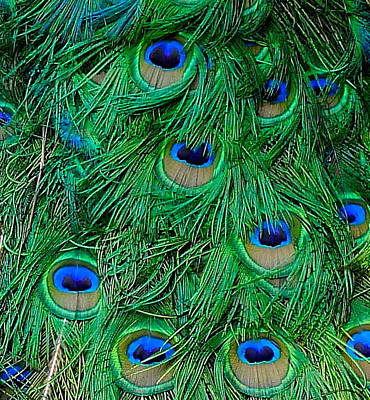 Photograph - Peacock Feathers Close Up by Denise Mazzocco