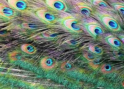 Photograph - Peacock Feathers by Jane Girardot