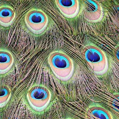 Photograph - Peacock Feathers by Karen Lindquist