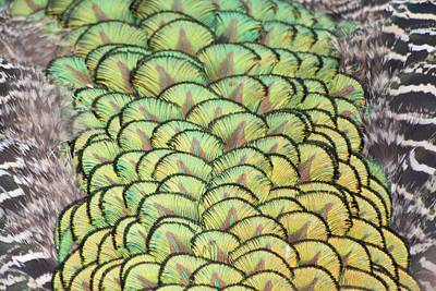 Peacock Feathers Original