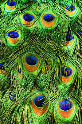 Bird Photograph - Peacock Feathers by Marcia Colelli