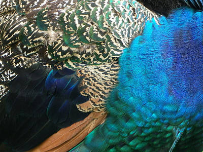 Photograph - Peacock Feathers by Sarah Lamoureux