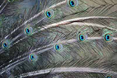 Photograph - Peacock Feathers by Suzie Banks