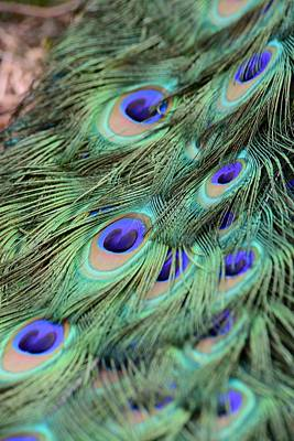 Photograph - Peacock Feathers by T C Brown