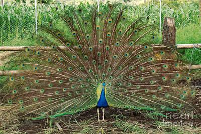 Art Print featuring the photograph Peacock Full Glory by Eva Kaufman