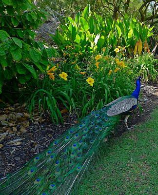 Photograph - Peacock Garden by Denise Mazzocco