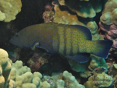 Peacock Grouper Wall Art - Photograph - Peacock Grouper Profile  by William Miller