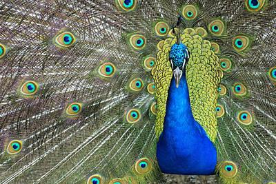 Peacock Art Print by Hildie Hofmann
