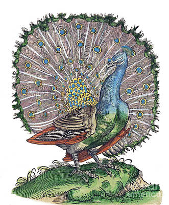 Photograph - Peacock Historiae Animalium by Science Source