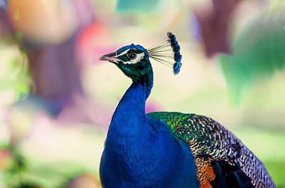 Peacock I. Bird Of Paradise Art Print by Jenny Rainbow