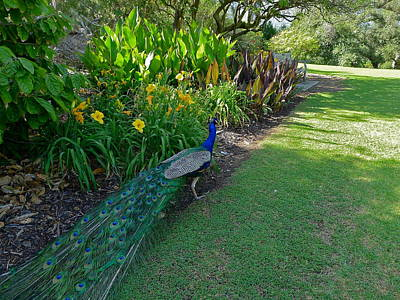 Photograph - Peacock In The Garden by Denise Mazzocco