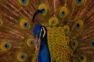 Peacock Art Print by Jeff Swan