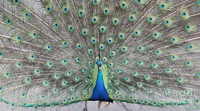 Photograph - Peacock by John Telfer