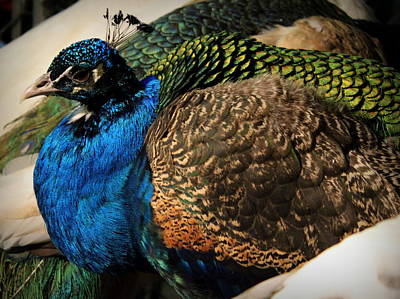Photograph - Peacock by Joseph Skompski