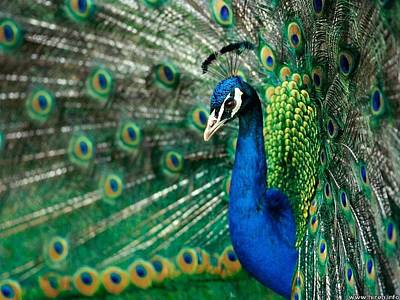 Photograph - Peacock by Julie Butterworth